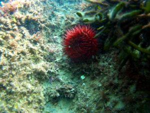 tomate de mar
